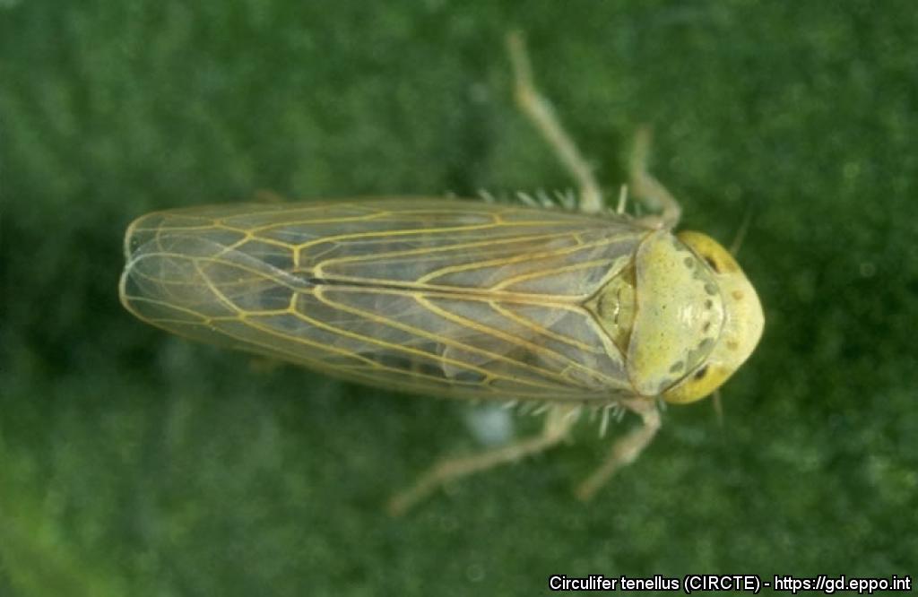 Circulifer tenellus (CIRCTE)[Photos]| EPPO Global Database
