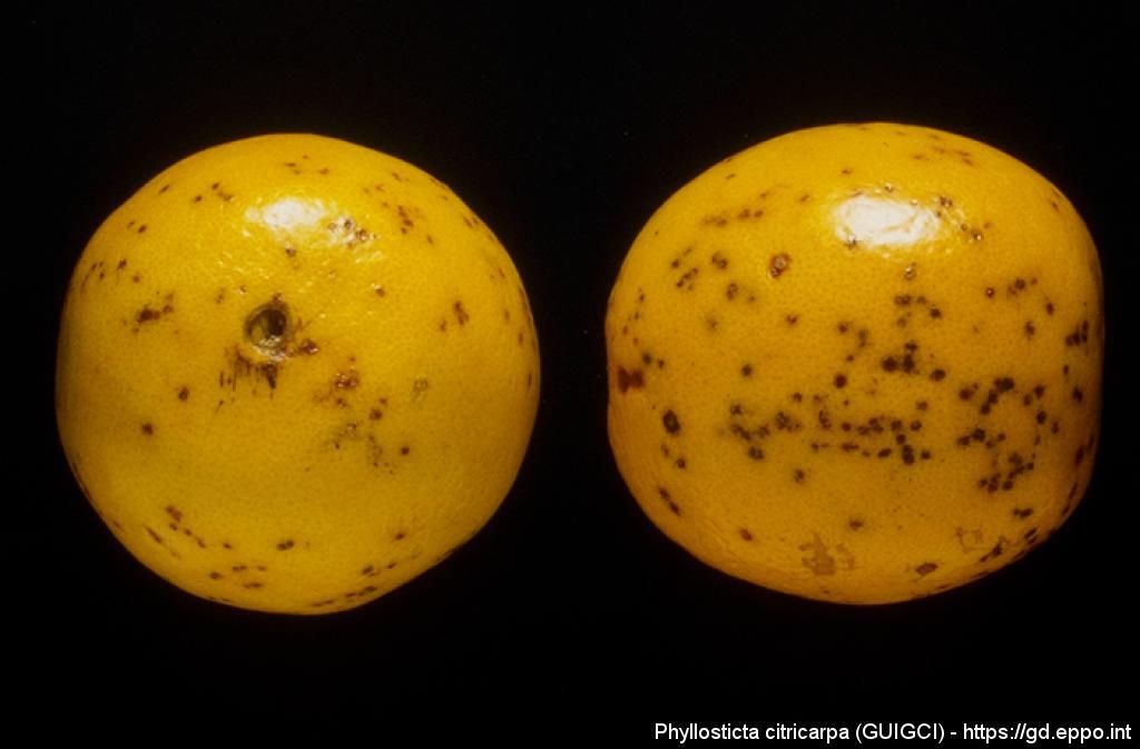 phyllosticta citricarpa  guigci  photos