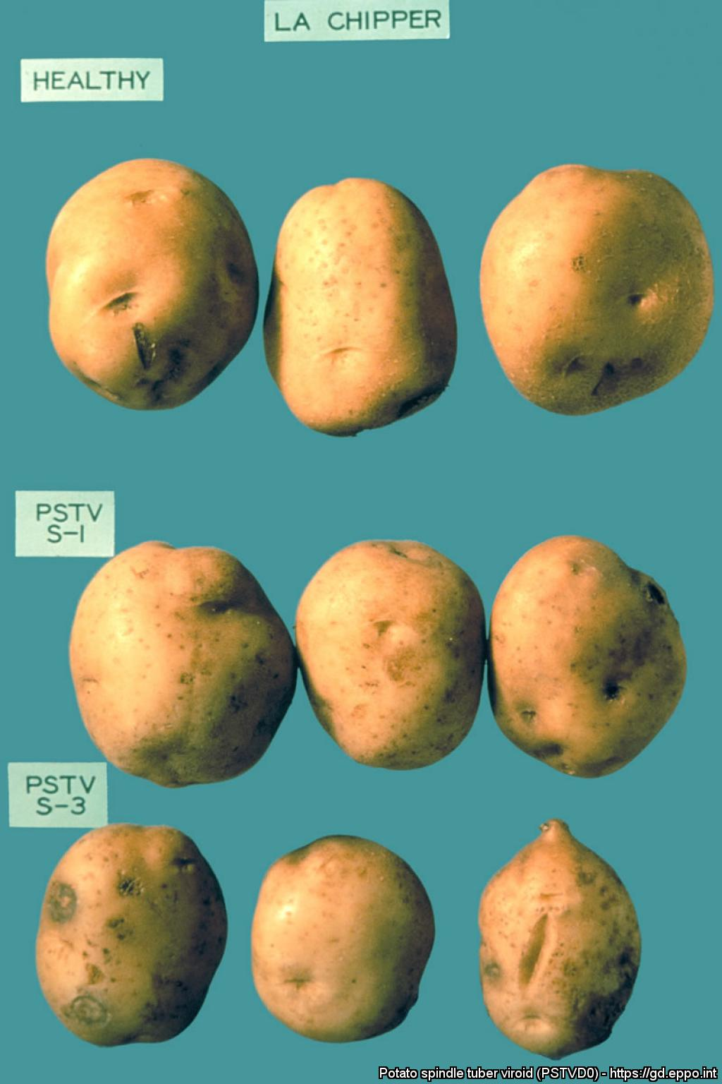 estimating osmolarity by change in volume of potato tuber tissue Table 1 estimating osmolarity of potato tuber using sucrose negative percent change in weight of the potato when on potato tissue by.