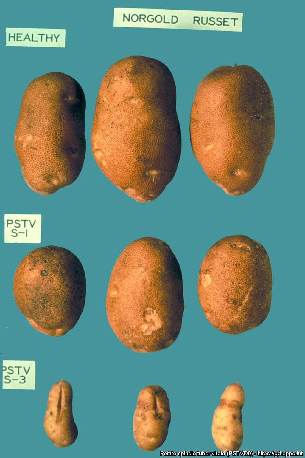 potato spindle tuber viroid  pstvd0  photos